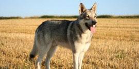 Saarloos Wolfhound 24