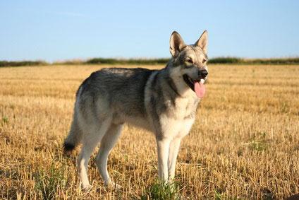Der Saarloos Wolfhound ist eine Kreuzung aus Schäferhund und Wolf.