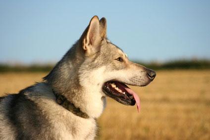 Saarloos Wolfhounde wiesen ein gutes Sozialverhalten auf.