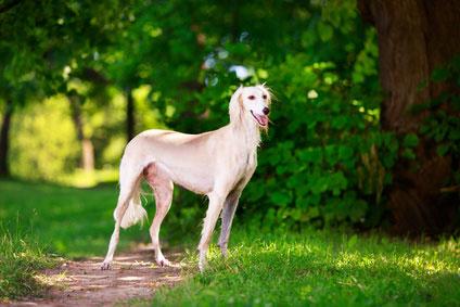 Der Saluki bzw. Persian Greyhound hat einen sanften Charakter und ist sehr menschenbezogen.