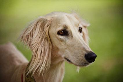 Der Saluki bzw. Persische Windhund ist eine sehr alte Hunderasse.