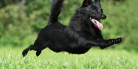 chien volant – dog flying – black dog jumping