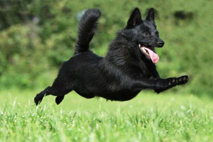 chien volant - dog flying - black dog jumping