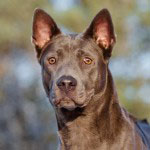 thai ridgeback dog portrait outdoors