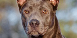 thai ridgeback dog portrait outdoors