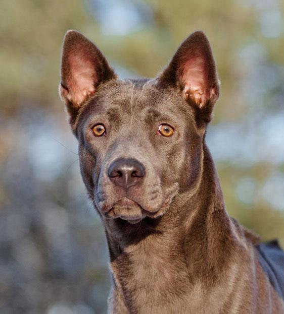 Die Hunderasse Thai Ridgeback ist eine der ältesten Hunderassen.