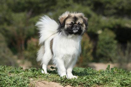 Der Tibet Spaniel ist auch ein guter Wachhund.