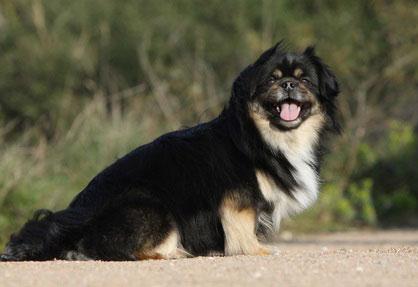 Tibet Spaniel gehören zu den ältesten Hunderassen der Welt.