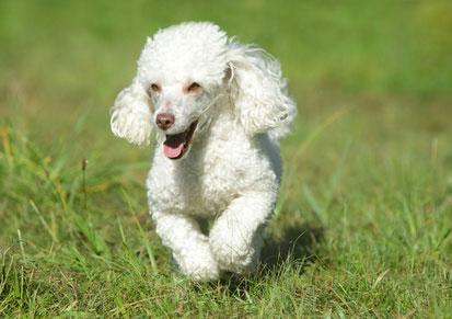 Toy Pudel sind sehr intelligent und lernfähig und eignen sich für Hundesportarten wie Agility.