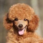 Happy Toy poodle puppy close-up portrait (outdoor)