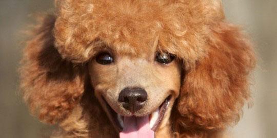 Happy Toy poodle puppy close up portrait