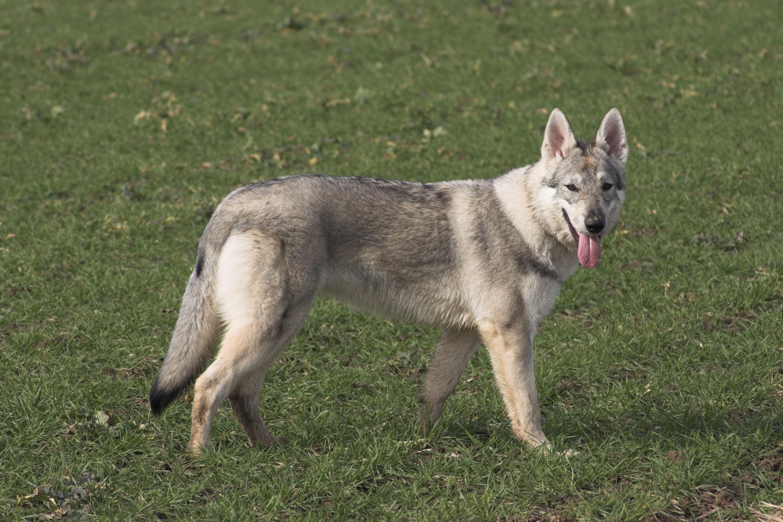 Tschechoslowakischer Wolfhund Rasse
