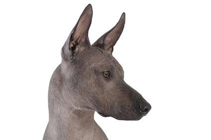 Der Xoloitzcuintle - der Hund des Gottes Xolotl.