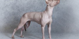 Xoloitzcuintle dog, grey background