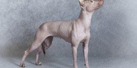 Xoloitzcuintle dog, grey background