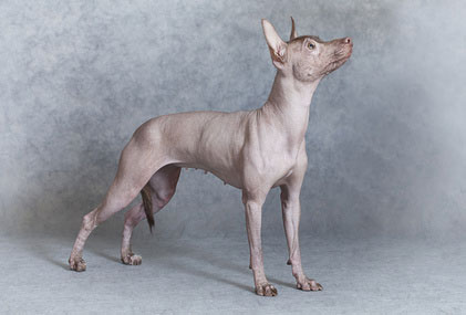 Xoloitzcuintles sind gute Wachhunde.