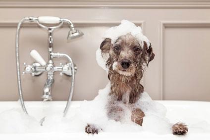 Ein Hund sollte nicht zu oft gebadet werden. Dabei ist auch auf die Wahl des richtigen Hundeshampoo zu achten.