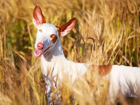 Podencos sind selbständige und lauffreudige Hunde.