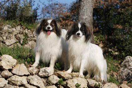 Der Kontinentale Zwergspaniel, auch Phalène genannt, ist ein sehr freundlicher und anhänglicher Hund.