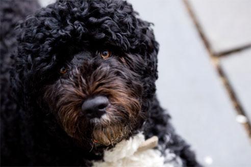 Obamas berühmter Begleiter Bo, ein portugiesischer Wasserhund.