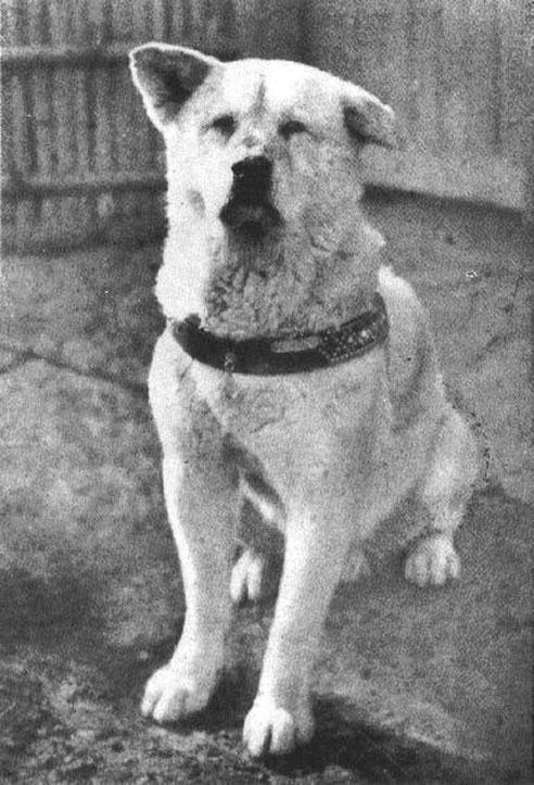 Auch der Akita Inu Hachiko, der immer wieder auf sein Herrchen vergeblich wartete, gelangte zu großer Berühmtheit.