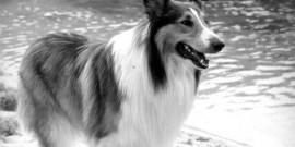 Beruehmte-Hunde-Lassie