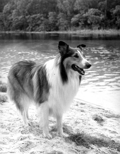 Fernsehhund Lassie