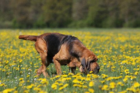 Bloodhounds sind als Polizeispürhunde besonders geeignet.