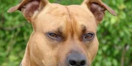 Kampfhund-Staffordshire-Bullterrier