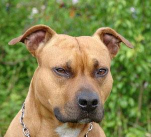 Der Staffordshire Bullterrier gilt als Kampfhund und braucht eine konsequente Erziehung.