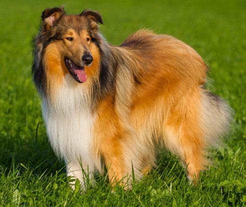 Vom Charakter her ist der Langhaar Collie sehr gut als Familienhund geeignet.