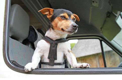 Der Hund im Auto sollte zumindest mit einem speziellen Transportgurt gesichert werden.