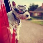 Hunde im Auto sicher transportieren.