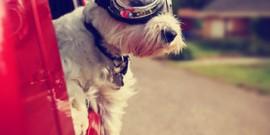 Hund-im-Auto-Westie
