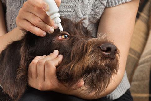 Bei akutem Heuschnupfen können Augentropfen die Beschwerden des Hundes lindern.