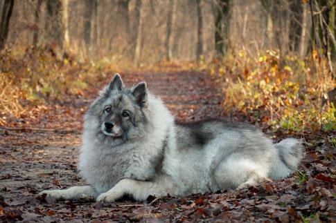 Der Wolfspitz ist der größte unter den Deutschen Spitzen.