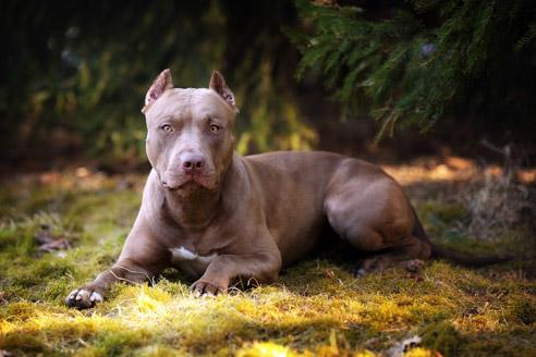 Der American Pit Bull Terrier gilt als Kampfhund wurde ursprünglich zur Jagd auf Ratten gezüchtet.