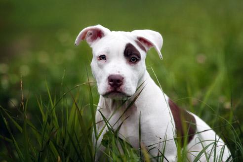 Der Pitbull gilt als Kampfhund, ist aber Menschen und Kindern gegenüber normalerweise ein friedlicher Hund.