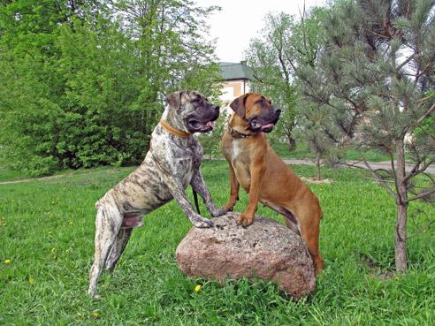 Boerboels sind zuverlässige Wachhunde.