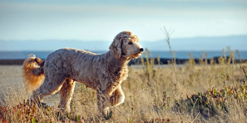 Designerhund-Goldendoodle