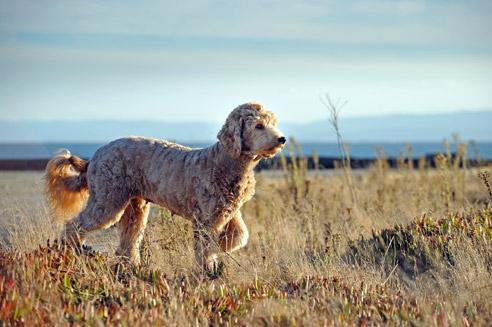 Der Goldendoodle ist eine Mischung aus Golden Retriever und Pudel.