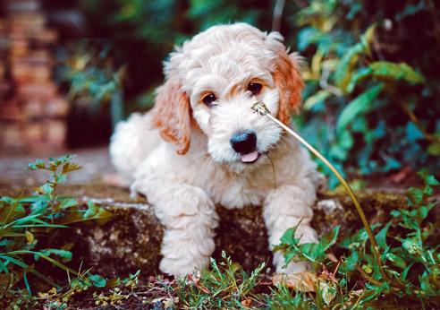 Der Goldendoodle ist sehr intelligent, Allergiker freundlich und kinderlieb.