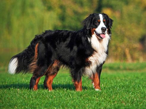 Ist ein Berner Sennenhund von frühauf gut sozialisiert worden, hat er einen sehr gutmütigen aber auch wachsamen Charakter.