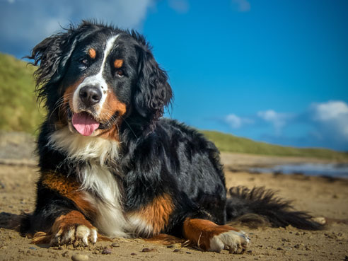 Die Rasse des Berner Sennenhundes ist eine der vier Schweizer Sennenhund Rassen.
