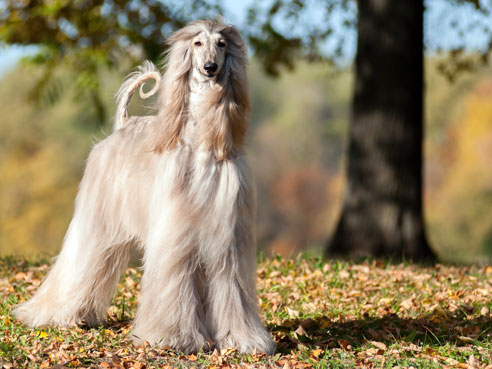 Afghanische Windhunde haben einen Charakter, den man am ehesten mit dem einer Katze vergleichen kann.