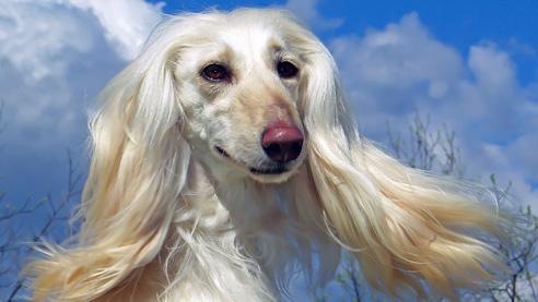 Die Rasse des Afghanischer Windhundes ist sehr alt. Schon auf 4000 Jahre alten Höhlenmalereien sind Hunde zu sehen, die dem heutigen Afghanischen Windhund gleichen.