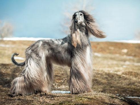 Das Wesen des Afghanischen Windhundes ist eher von ruhiger Natur, wenn er seinem Temperament gelegentlich beim Coursing freien Lauf lassen kann.