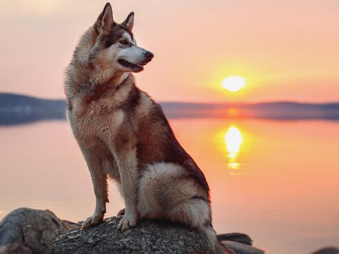 Bereits seit 2000 Jahren zieht der Alaskan Malamute Lasten und Schlitten in der Arktis. Die Rasse gilt als die größte arktische Schlittenhund-Rasse.