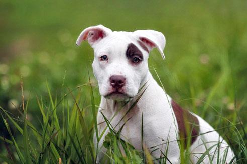 Der American Pitbull gilt zwar als Kampfhund, hat aber Menschen und insbesondere Kindern gegenüber normalerweise ein friedlichen Charakter.