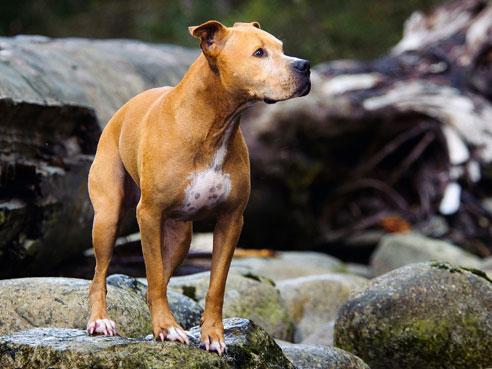 Gut sozialisiert hat der American Pitbull Terrier durchaus ein freundliches und friedliches Wesen. Dennoch möchte er, wie jeder Hund, ausreichend Auslauf bekommen.